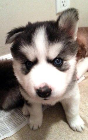 Akc Registered Siberian Husky Puppies For Sale In Johnson City