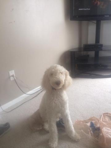 AKC registered standard poodle