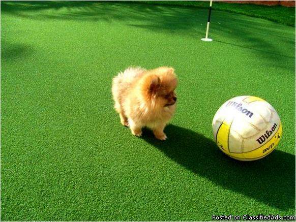 AKC Registered Teacup Pomeranian Puppies Now Available for ...