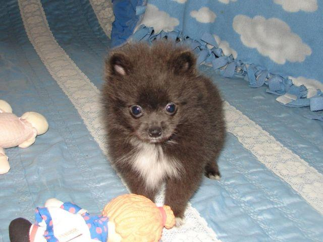 Akc Registered Tiny Blue With White On Chest Pomeranian Puppy For