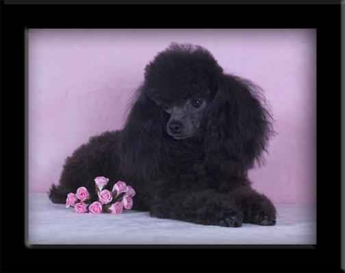 Akc Registered Toy Poodle Puppies Born 9515 Black Mf 1