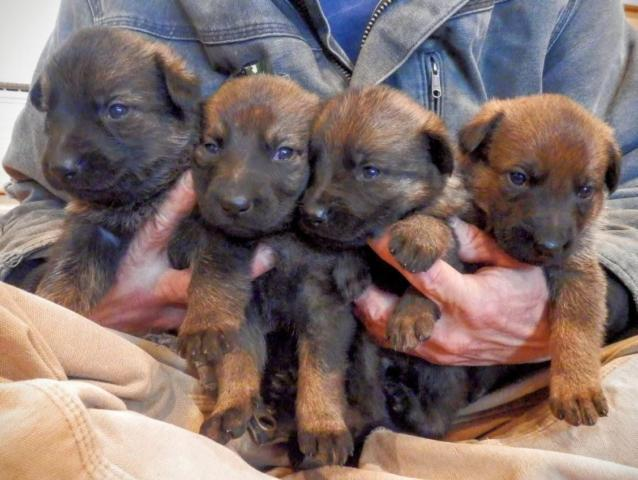 AKC Registered Working Line German Shepherd Puppies for Sale