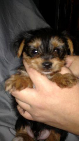 Akc Registered Yorkshire terrier. 2 Males. Both parti