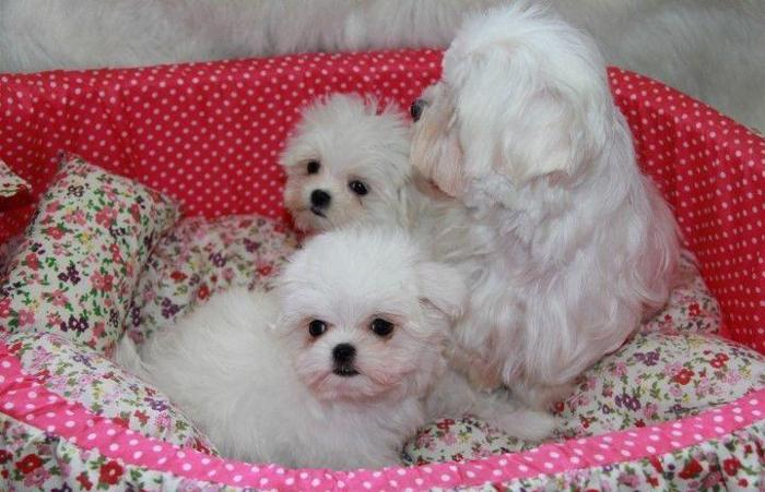 maltese puppies for sale in sc akc regsitered maltese puppies for sale in mount pleasant 8933