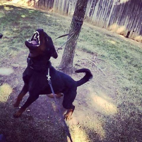 Akc Rottweiler For Sale In San Francisco California Classified