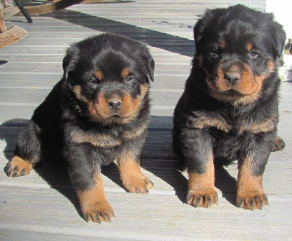 AKC Rottweiler puppies- 8 weeks old for Sale in Abbeville ...