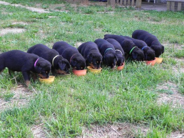 Akc Rottweiler Puppies For Sale In Hagerstown Maryland Classified