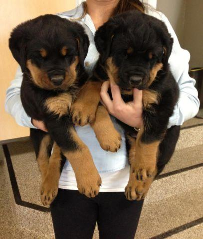 Rottweiler Puppies For Sale In Idaho Classifieds Buy And Sell In