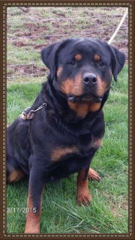Akc Rottweiler Puppies For Sale In Damascus Oregon Classified