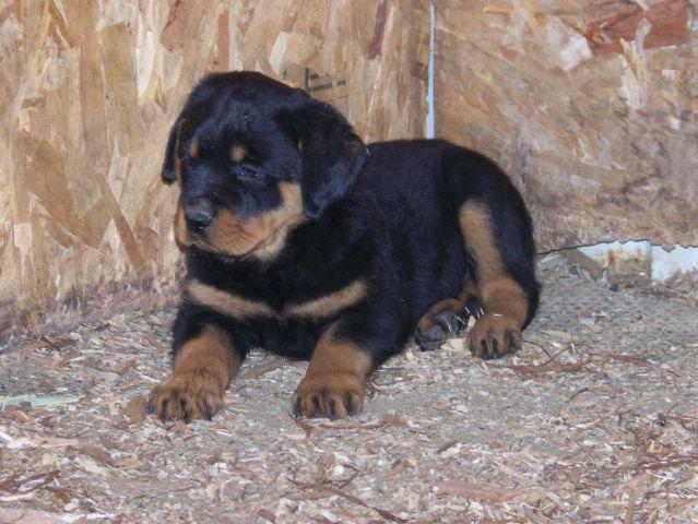 Akc Rottweiler Puppies For Sale In La Grange California Classified