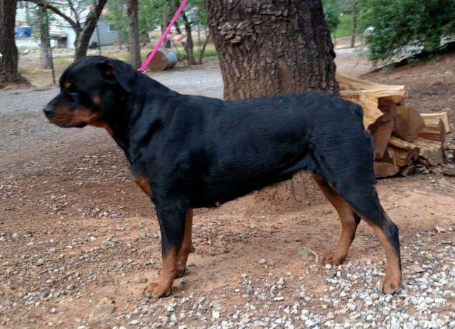 Akc Rottweiler Puppies For Sale In Redding California Classified
