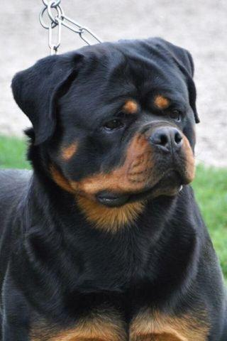 Akc Rottweiler Puppies For Sale In Antioch California Classified