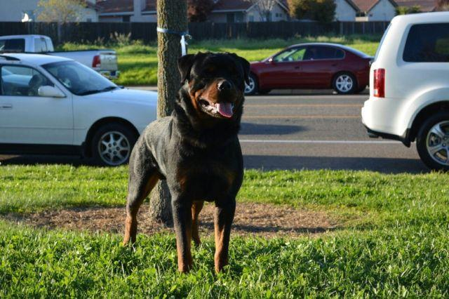 AKC Rottweiler Puppies Available!