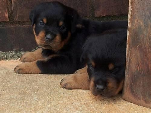 AKC ROTTWEILER PUPPIES BORN 4-11-13 PARENTS ON SITE!