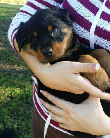 German Rottweiler Puppies Pets And Animals For Sale In Orlando