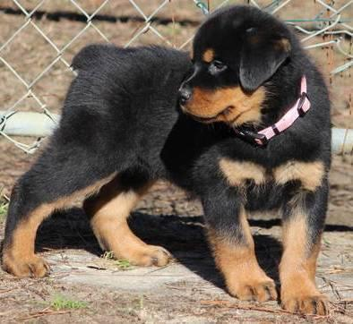 AKC Rottweiler Puppies  Champion Imported Sire