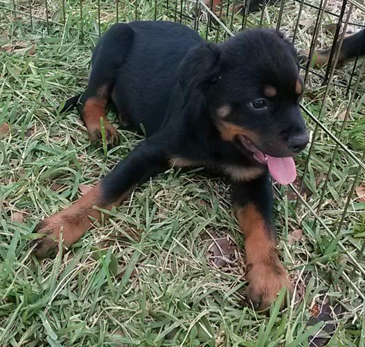 AKC Rottweiler Puppies For Sale for Sale in Miami, Florida Classified