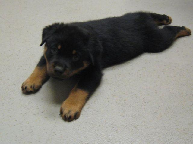 Akc Rottweiler Puppies Ready To Go Now For Sale In Bridgeville