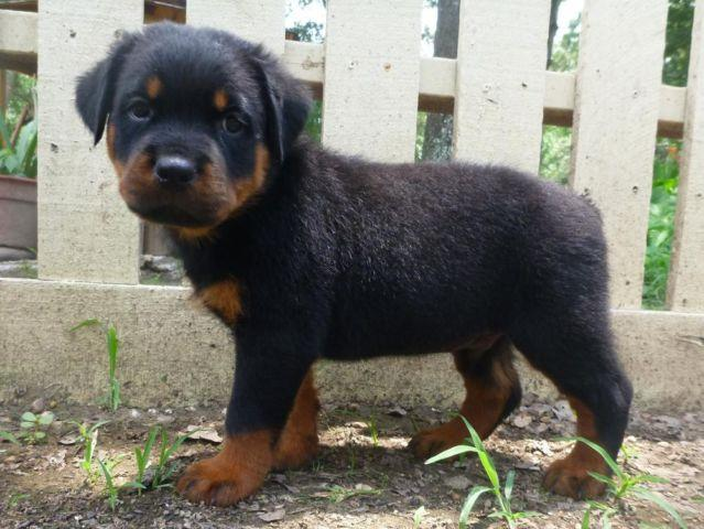 Akc Rottweiler Puppies Stunning For Sale In New Waverly Texas