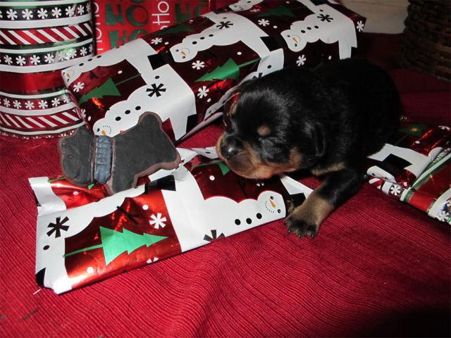 AKC Rottweiler Puppy (Black Collar)