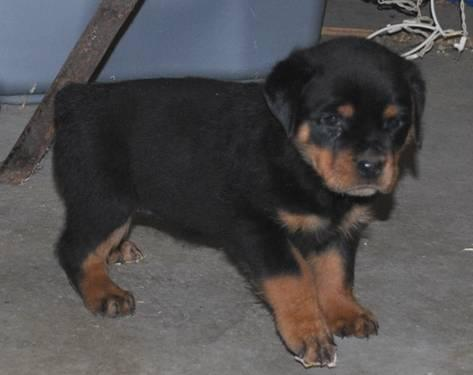 AKC Rottweiler pups 8 weeks old for Sale in Uxbridge ...