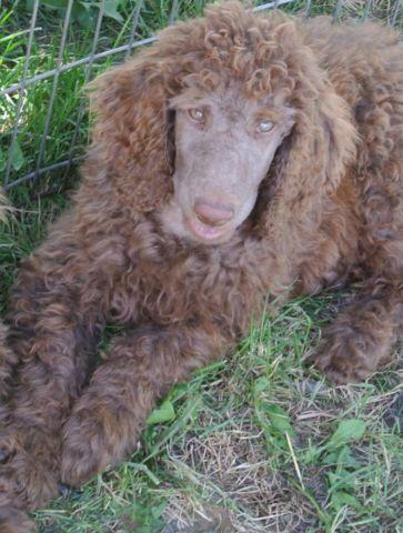 AKC Royal Standard Poodle Silver/beige for Sale in ...
