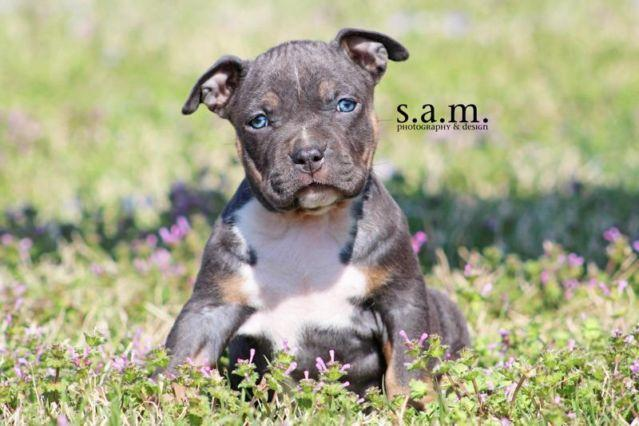 AKC's Spiti x Ali American Bully Pups! MUST SEE! for Sale in