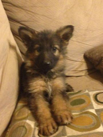 Akc Sable And Black And Tan German Shepherd Puppies 8 Weeks Old For Sale In Phelan California
