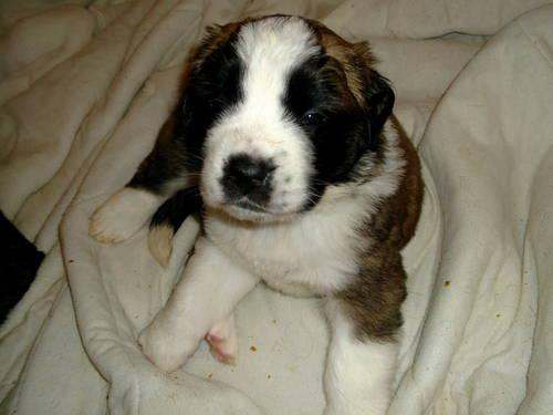 Akc saint bernard puppies ready 1-24-13 Reduced!!