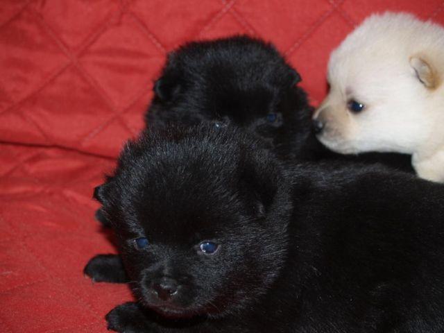 Schipperke Puppies For Sale Petfinder