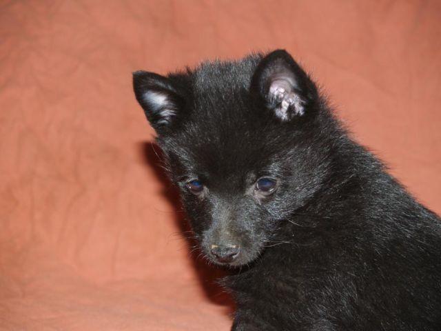 Akc Schipperke Puppy For Sale In Beaverton Oregon Classified