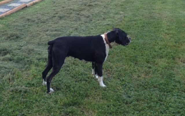 AKC Sealed Brindle Boxer Female