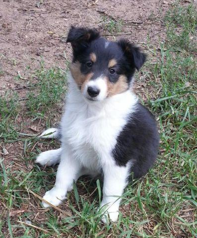 Sheltie For Sale In Michigan Classifieds Buy And Sell In Michigan