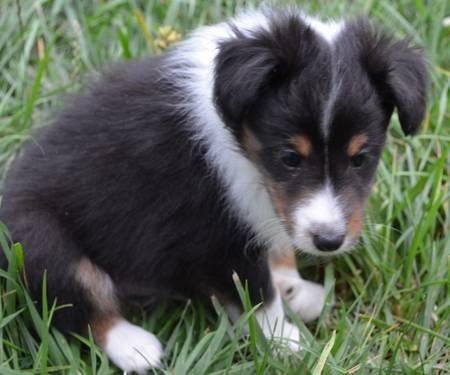 Akc Sheltie Puppies Tri And Blue Merles For Sale In Liberty