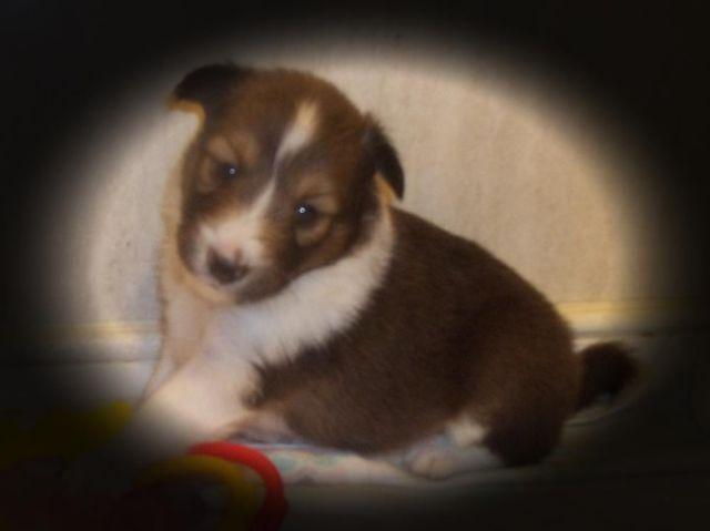 AKC SHELTIE SABLE MALE Shetland Sheepdog in VIRGINIA ~