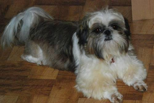 Akc Shih Tzu For Sale In Evansville Indiana Classified