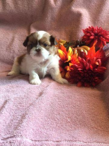 AKC Shih Tzu female puppies
