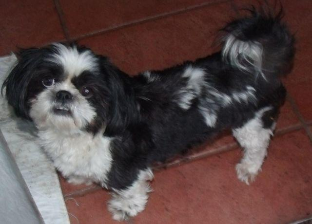 shih tzu rescue va akc shih tzu for adoption for sale in virginia beach 7683