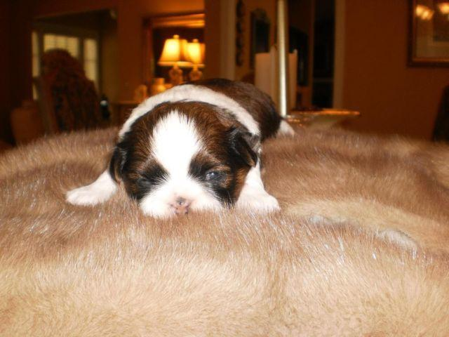 AKC Shih-Tzu male puppy