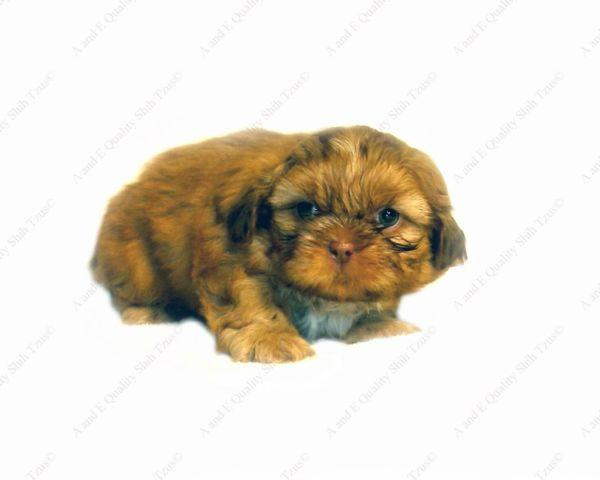 akc shih tzu puppies for sale akc shih tzu male puppy quot chipmonk quot for sale in brockport 1582