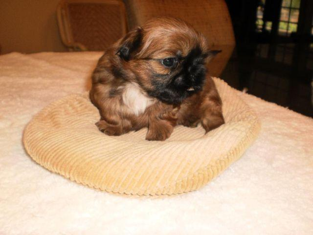 AKC Shih-Tzu male red puppy--Valentine's Day Special!!!