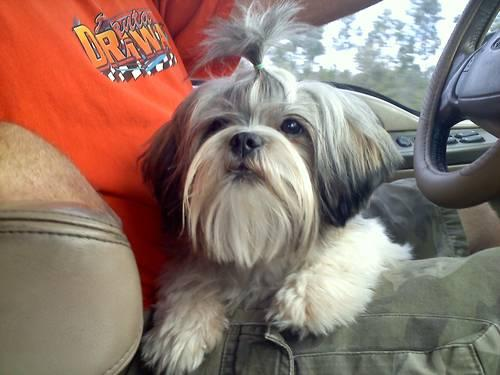 akc shih tzu puppies for sale akc shih tzu puppies for sale in north shore 6415