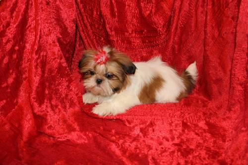 AKC Shih-Tzu Puppies