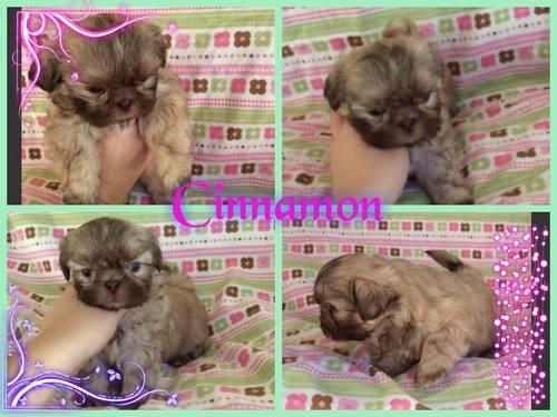 Akc Shih Tzu Puppies For Sale In Sacramento California Classified