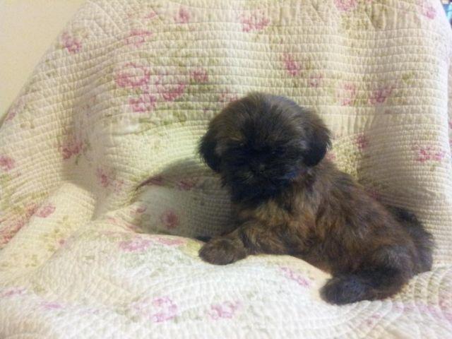 Akc Shih Tzu Puppies For Sale In Pleasanton California Classified