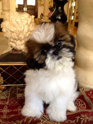 Shih Tzu Poodle Pets And Animals For Sale In Sacramento California