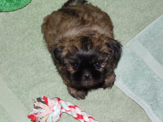 akc shih tzu puppies for sale akc shih tzu puppies for sale in gate washington 6550