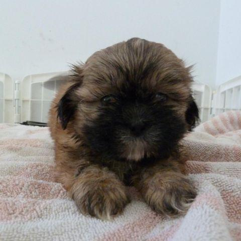 AKC Shih Tzu Puppies, SMALL SIZE, Female and Male,