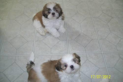 akc shih tzu puppies for sale akc shih tzu puppies for sale in clyde new york 7051