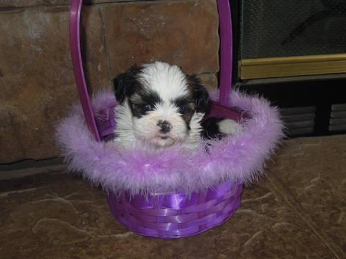 shih tzu breeders in virginia akc shih tzu puppy for sale in martinsville virginia 9332